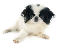 Japanese Chin Royalty Free Stock Photo
