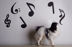 Japanese chin and music. A Japanese Chin in front of a wall with musical notes Stock Photo