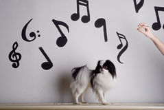 Japanese Chin and music. A Japanese Chin, or Japanese spaniel, in front of musical notes and a conductors hand Stock Photos