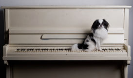 Japanese Chin on piano stock image