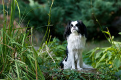 Japanese Chin portrait Royalty Free Stock Photo