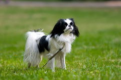Japanese Chin portrait Royalty Free Stock Images