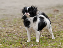 Japanese Chin Puppy. A young Japanese chin in the park in spring Stock Photography