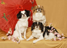 Japanese Chin Trio Royalty Free Stock Images