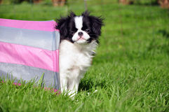 Japanese chins. A japanese chin looking out from a tunnel Royalty Free Stock Photography
