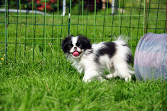 Japanese chins. A japanese chin looking out from a tunnel and shows the tongue Royalty Free Stock Photo