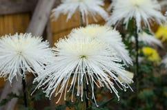 Japanese chrysanthemums Stock Images