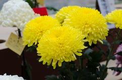 Japanese chrysanthemums Royalty Free Stock Photography