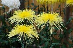 Japanese chrysanthemums Stock Photos