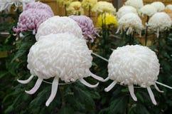 Japanese chrysanthemums Royalty Free Stock Images