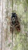 Japanese cicada or higurashi Stock Photos