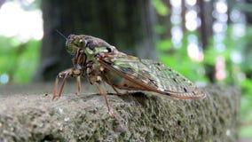 Japanese cicada at hongu fuji sengen shrine Stock Image