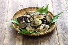 Japanese clam,hamaguri,common orient clam,meretrix lusoria Royalty Free Stock Photography