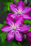 Japanese Clematis Flower Stock Photos