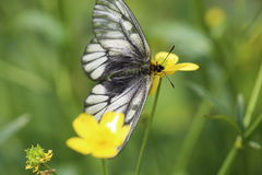 Japanese Clouded Apollo on buttercup Stock Photography