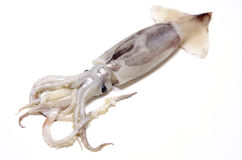 Japanese common squid Royalty Free Stock Images