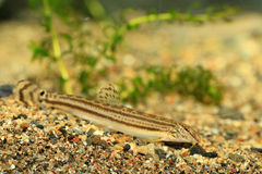 Japanese common striped loach Royalty Free Stock Images