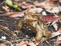 Japanese Common Toad royalty free stock photo