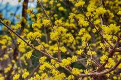 Japanese cornelian Blooming in Spring, Haeundae, Busan, South Korea, Asia.  royalty free stock photo