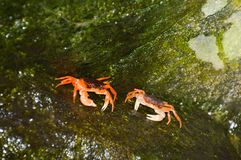 Japanese Crabs stock photo