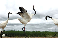 Japanese Crane. Scientific name Japanese Crane,Distribution of the Nenjiang River, Songhua River and Wusuli River basin breeding, the lower reaches of the stock photo