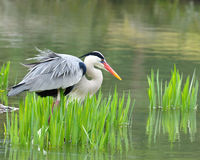 Japanese crane. Walk in water royalty free stock image