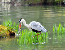 Japanese crane. Hit fish in water stock photos