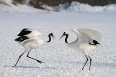 Free Japanese Crane Or Red-crowned Crane Stock Images - 41507354