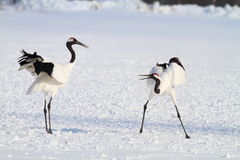 Free Japanese Crane Or Red-crowned Crane Stock Images - 41507464