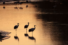 Free Japanese Crane Or Red-crowned Crane Royalty Free Stock Images - 41507839