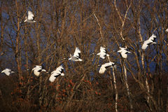 Free Japanese Crane Or Red-crowned Crane Royalty Free Stock Images - 41507909