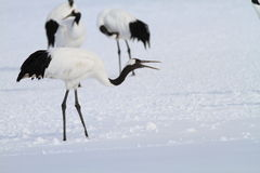 Japanese crane or Red-crowned Crane Royalty Free Stock Images
