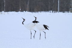 Japanese crane or Red-crowned Crane Stock Photos