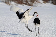 Japanese crane or Red-crowned Crane Stock Images