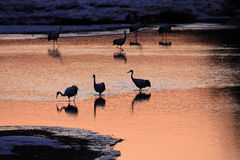 Japanese crane or Red-crowned Crane. (Grus japonensis) in Hokkaido, Japan Stock Images