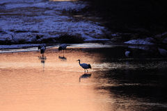 Japanese crane or Red-crowned Crane Stock Photography