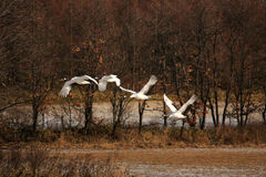 Japanese crane or Red-crowned Crane Stock Image