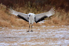 Japanese crane or Red-crowned Crane royalty free stock image
