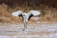 Japanese crane or Red-crowned Crane Royalty Free Stock Photography