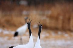 Japanese crane or Red-crowned Crane Royalty Free Stock Photos