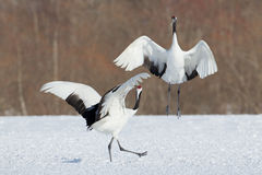 Japanese Cranes Stock Photography