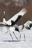 Japanese Cranes Royalty Free Stock Images