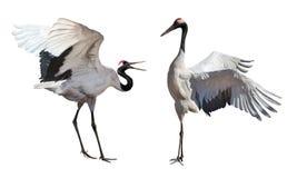 Japanese cranes courtship dance isolated on white Stock Image