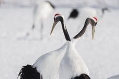Japanese Cranes - Courtship Symmetry Stock Photo
