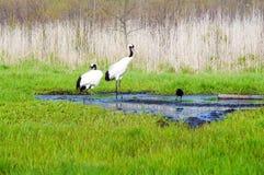 Japanese Cranes Stock Photos