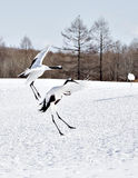 Japanese Cranes Hopping in Courtship Royalty Free Stock Image