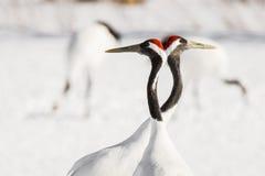 Japanese Cranes - Romantic Symmetry Stock Photo