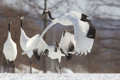 Japanese Cranes in the Snow Stock Photography