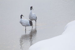 Japanese Cranes Standing In Water Stock Photo