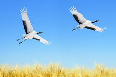 Japanese Cranes Royalty Free Stock Photos